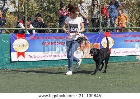 A young girl - Handler with Labrador in the ring. Tashkent Uzbekistan. International Dog Show Oltin It October 15 2017