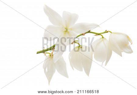 yucca white wild   flower on white background