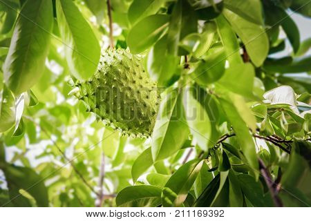 Soursop fruit on the tree whole growing Caribbean Trinidad and Tobago