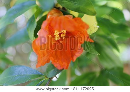 pomegranate flowers on the plant in summer