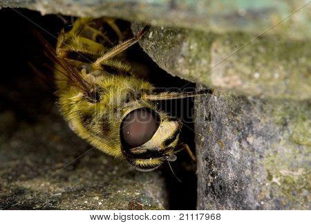 Macro of a wasp