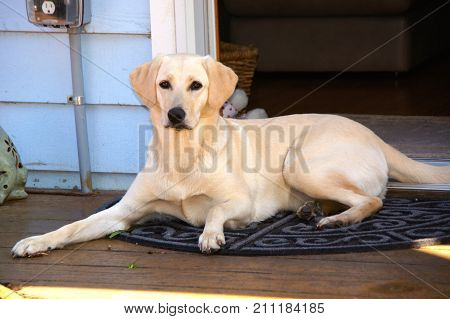 Annie, the beautiful Yellow labrador Retriever in all her glory