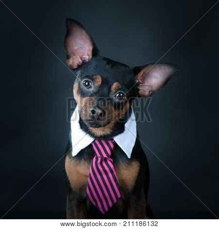 A dog, toyterrier a tie and a white collar. Education, training of dogs. Boss, manager.