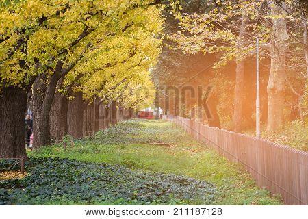 Yellow gingo leaved in the garden during late autumn season Japan natural landscape background