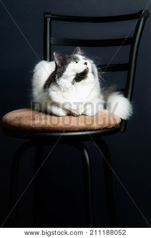 Grey and white housecat seated on a kitchen stool.