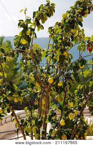 quince growing on a branch fairytale, sunny, background