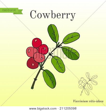 Wild forest ripe cowberries and leaves. Hand drawn botanical vector illustration
