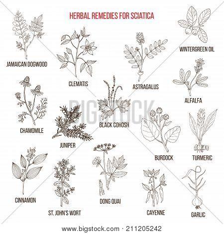 Herbal remedies for sciatica. Hand drawn vector set of medicinal plants