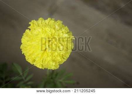 Single marigold flower in home garden stock photo