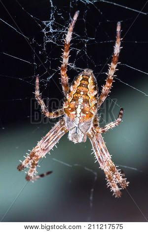 Macrophotography of ugly small common spider also known as Araneus diadematus or cross spider.