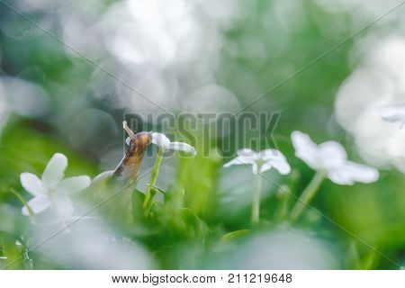 Snail On Fresh Leaf In The Morning. Burgundy Snail (helix, Escargot) With Leaf And Bokeh In A Natura