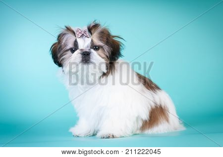 Shih tzu puppy sitting portrait at studio