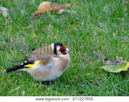 Goldfinch feeding amongst wind blown autumn leaves