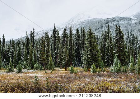Snow Covered Trees In The Alpine Forest Of The Canadian Rockies Along The Icefields Parkway Between