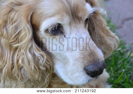 the spaniel brown dog on a green grras