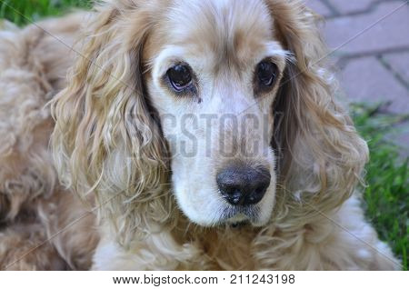 the spaniel brown dog on  a green gras