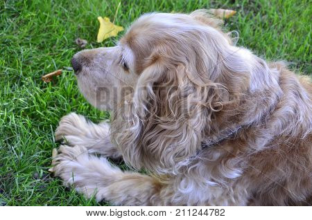 the spaniel brown dog on a  green background