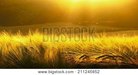Backdrop Of Ripening Barley Of Yellow Wheat Field On The Sunset Cloudy Yellow / Gold Sky Ultrawide B