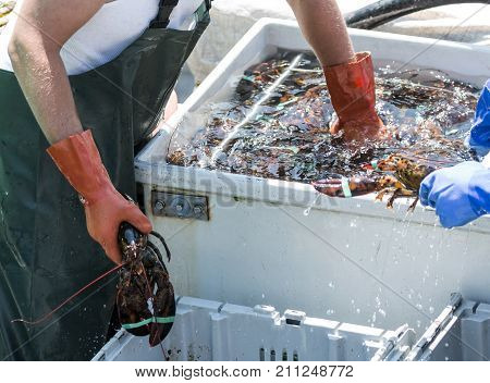 A lobster fisherman in Maine reaching into a tub of water and live lobsters in order to sort the lobsters into bins to be sold at market.