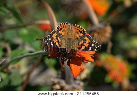 Cynthia group of colorful butterflies, commonly called painted lady, comprises a subgenus of the genus Vanessa in the family Nymphalidae. It sits on  Tithonia diversifolia or Mexican sunflower.