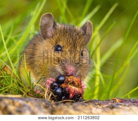 Frontal View Of Wild Mouse Eating Blackberry