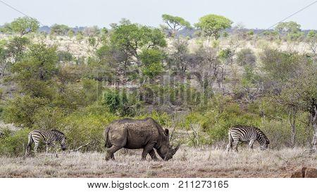 Southern white rhinoceros in Kruger national park, South Africa ; Specie Equus quagga burchellii and Ceratotherium simum simum