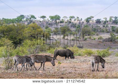 Plains zebra and white rhinoceros in Kruger national park, South Africa ; Specie Equus quagga burchellii and Ceratotherium simum simum