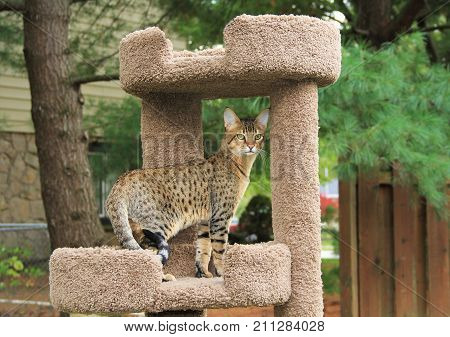Savannah cat. Beautiful golden spotted and striped Serval Savannah kitten with yellow eyes on a cat tree outside.
