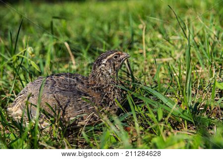 Quail living in free-range summertime close up capture, Bird in grass close up image
