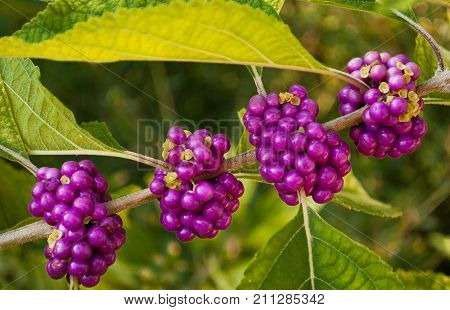 Callicarpa americana (American beautyberry) is an open-habit, native shrub of the Southern United States .