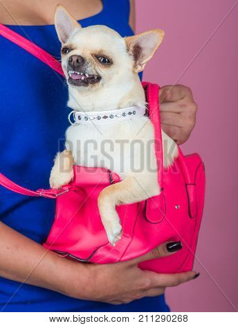 Devotion and constancy concept. Chihuahua dog smiling in pink bag. Puppy face with happy smile on violet background. Protection alertness bravery. Pet companion friend friendship.