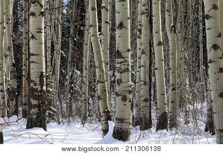 Aspen grove in late winter , Rocky Mountains, Colorado
