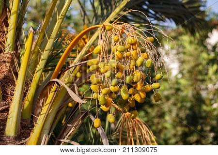 Ripe Dates Hanging On The Palm