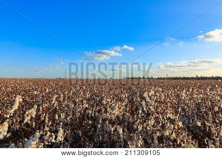 Ripe Cotton Boxes On Wide Field