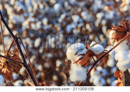 Ripe Blown Cotton Bud At Field