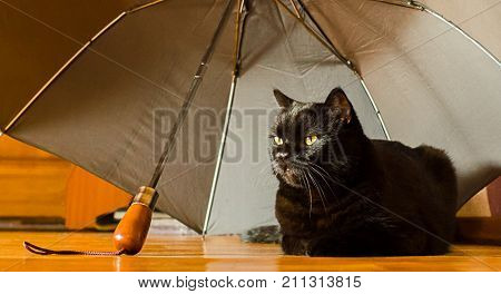 Animal shelter and pet adoption concept: a black cat is in safety at home under grey umbrella left by an owner in the hallway