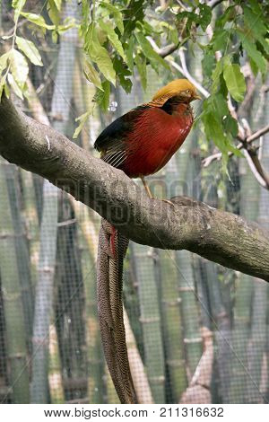 the golden pheasant is perched in a tree with its tail hanginh doen