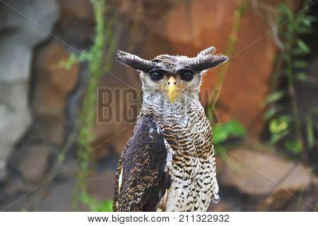 The Eagle Owl (bubo Sumatranus)