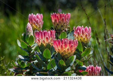 A bunch of red and yellow protea flowers in Kirstenbosch Botanical Gardens, Cape Town, South Africa poster