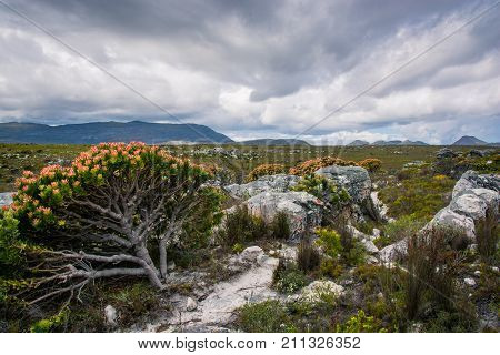 A flowering protea bush leans away from a hiking trail with cloudy skies threatening rain