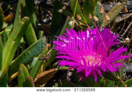 A bee approaches a purple everlasting flower to gather nectar.  Cape Point, South Africa