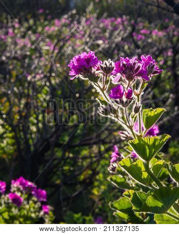 A backlit pelargonium flower in spring near Cape Town, South Africa