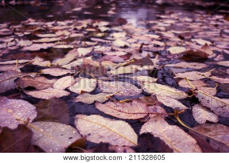 dry fallen leaves rozen in the ice