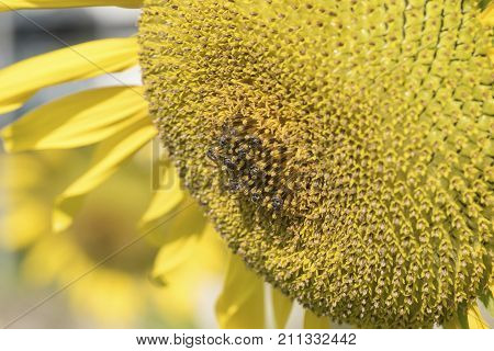Close-up Of A Bright Sunflower And Bees In The Garden