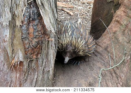 Australian Echidna animal on the ground near a tree trunk. Spiny anteater monotreme.
