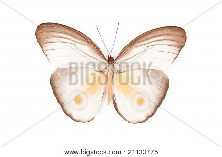 Brown And White Butterfly Taenaris Urania Isolated On White Background
