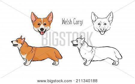 Collection of colored and monochrome contour drawings of head and full body of Pembroke Welsh Corgi, front and side views. Cute sturdy herding and companion dog. Realistic vector illustration