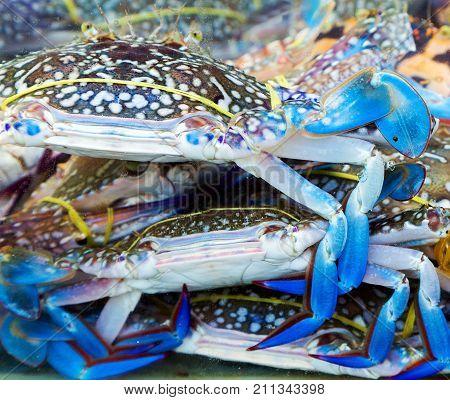 Fresh blue claw crab marine background seafood
