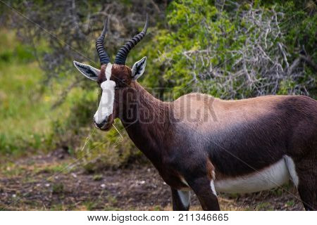 Female Bontebok antelope in the Cape Point Nature Reserve, South Africa