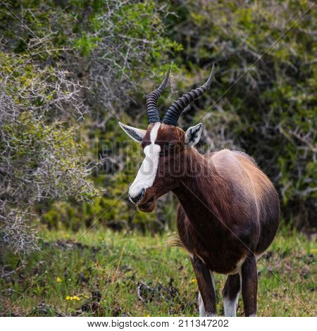 Female Bontebok antelope at Cape Point Nature Reserve, South Africa